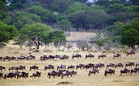 Wildbeest Migration Safari Kenya